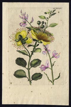 Flinders Rose with insects by Merian - Handcoloured engraving - 18th century