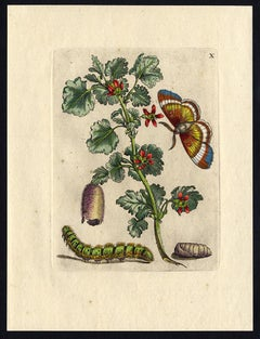 Gooseberry blossom and insects by Merian - Handcoloured engraving - 18th century