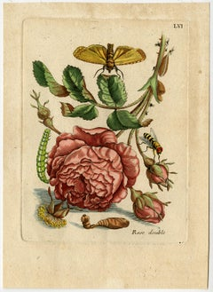 Gorgeous rose with insects by Merian - Handcoloured engraving - 18th century