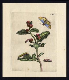 Greater Burdock with insects by Merian - Handcoloured engraving - 18th century