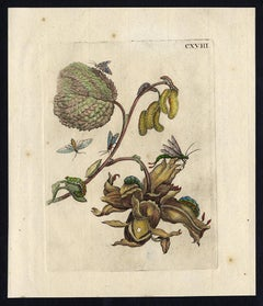 Hazel and Corylus with insects by Merian - Handcoloured engraving - 18th century