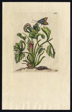 Hollyhocks with insects by Merian - Handcoloured engraving - 18th century