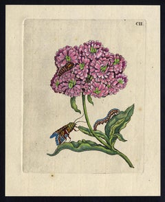 Jerusalem Cross with insects by Merian - Handcoloured engraving - 18th century