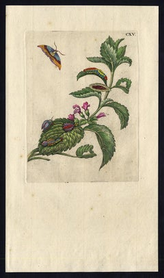 Melissa and Balm with insects by Merian - Handcoloured engraving - 18th century