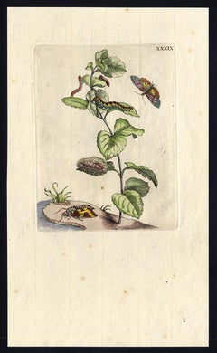 Mint with insects by Merian - Handcoloured engraving - 18th century