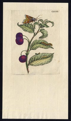 Morello Cherry with insects by Merian - Handcoloured engraving - 18th century