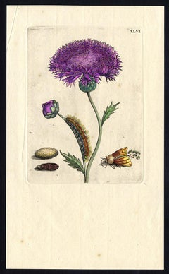Musk flower with insects by Merian - Handcoloured engraving - 18th century