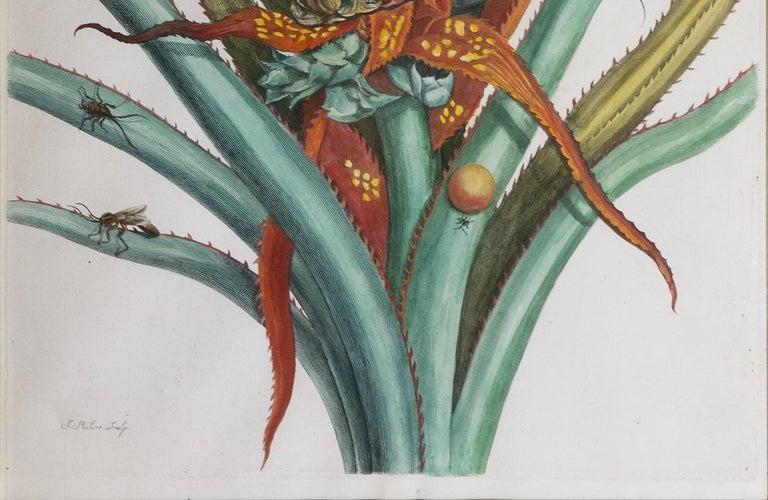 Pineapple with foliage.   - Print by Maria Sybilla Merian