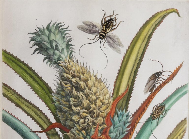 Pineapple with foliage.   - Naturalistic Print by Maria Sybilla Merian
