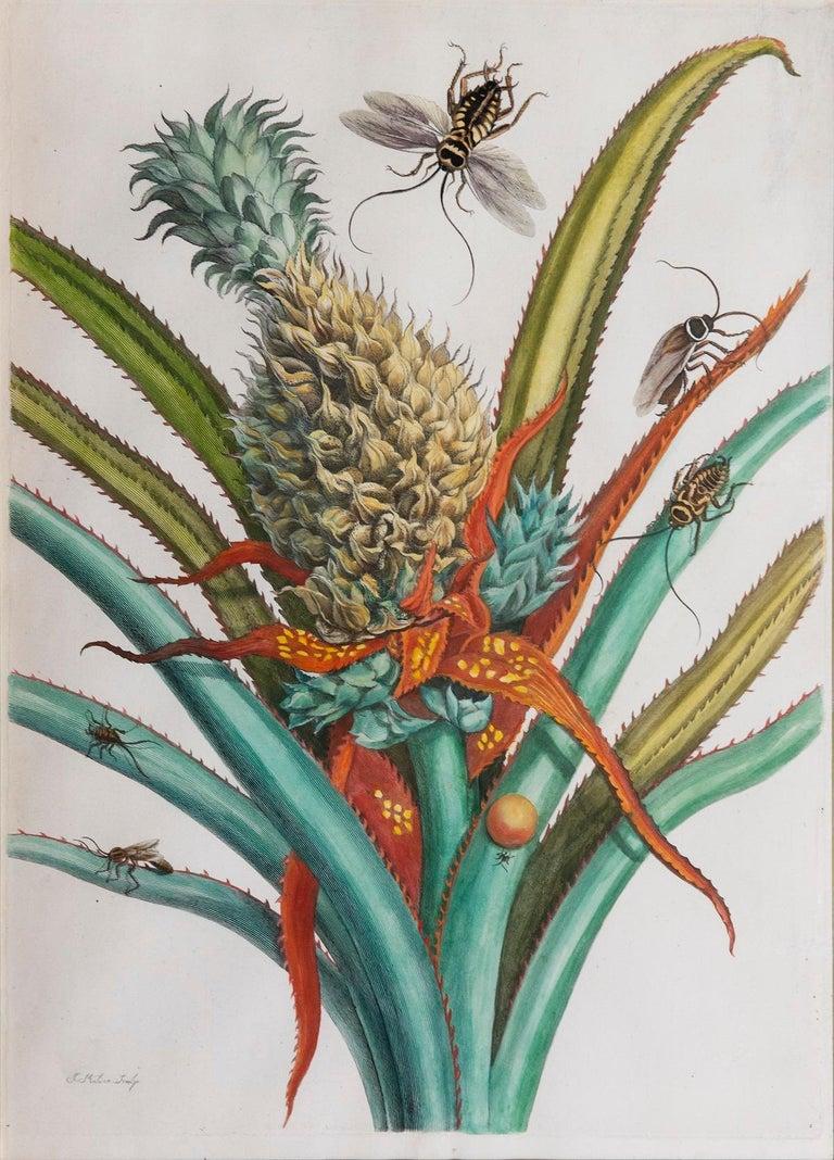 Pineapple with foliage.   - Beige Still-Life Print by Maria Sybilla Merian
