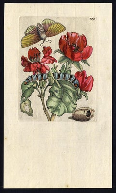 Quince blossom with insects by Merian - Handcoloured engraving - 18th century
