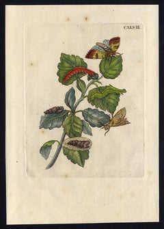 Silver and White Poplar by Merian - Handcoloured engraving - 18th century