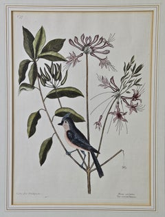 "18th Century Catesby Hand-colored Bird & Plant Engraving ""The Crested Titmous"""