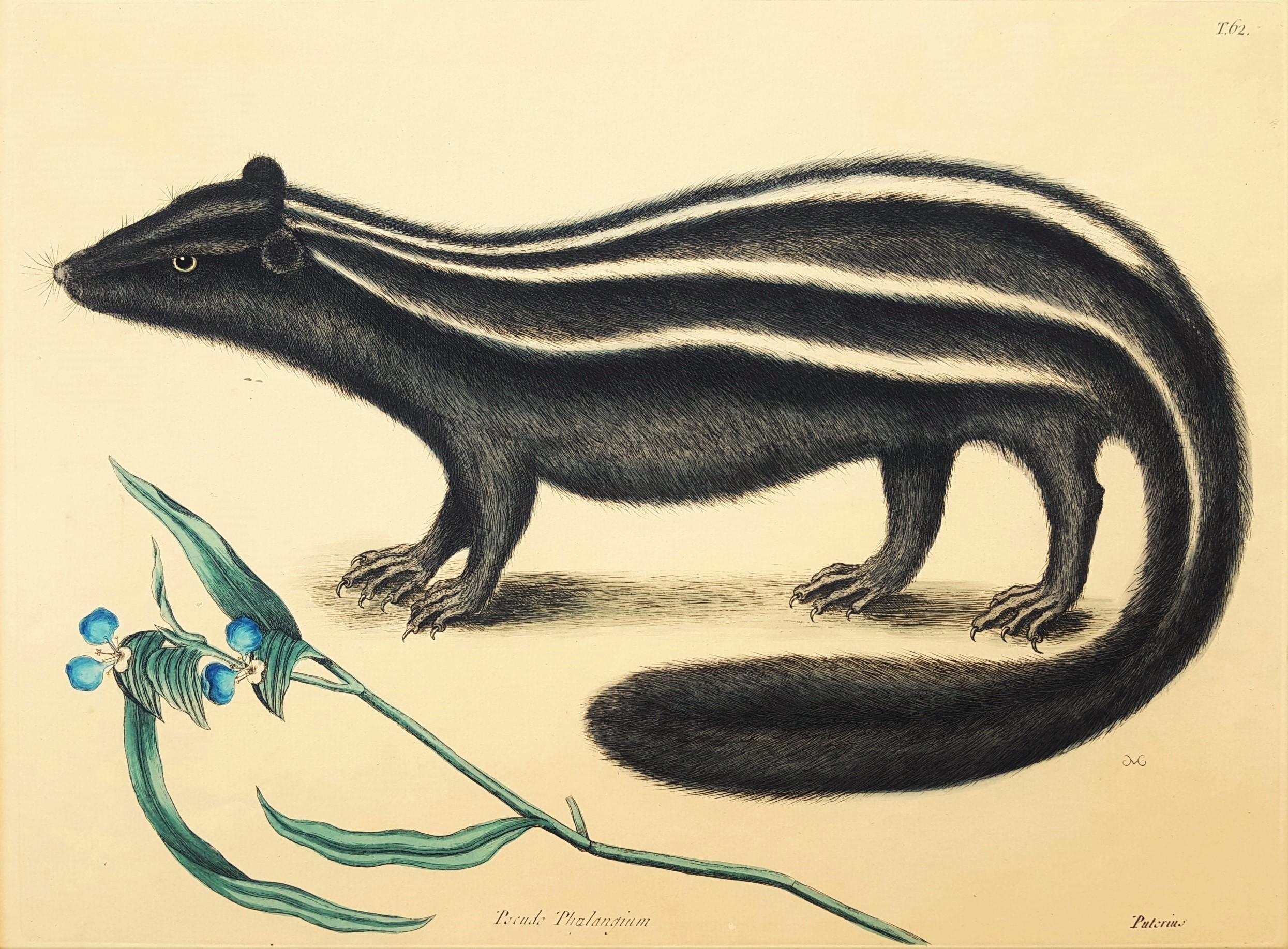 Putorius & Pseudo Phalangium (The Pole-Cat) (Skunk)