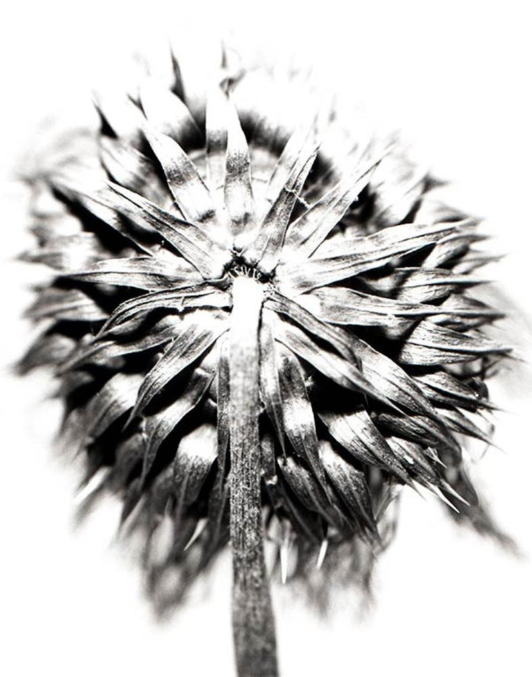Thistle 22, Framed Black and White Digital Print Photography - Gray Still-Life Photograph by Mark Douglas