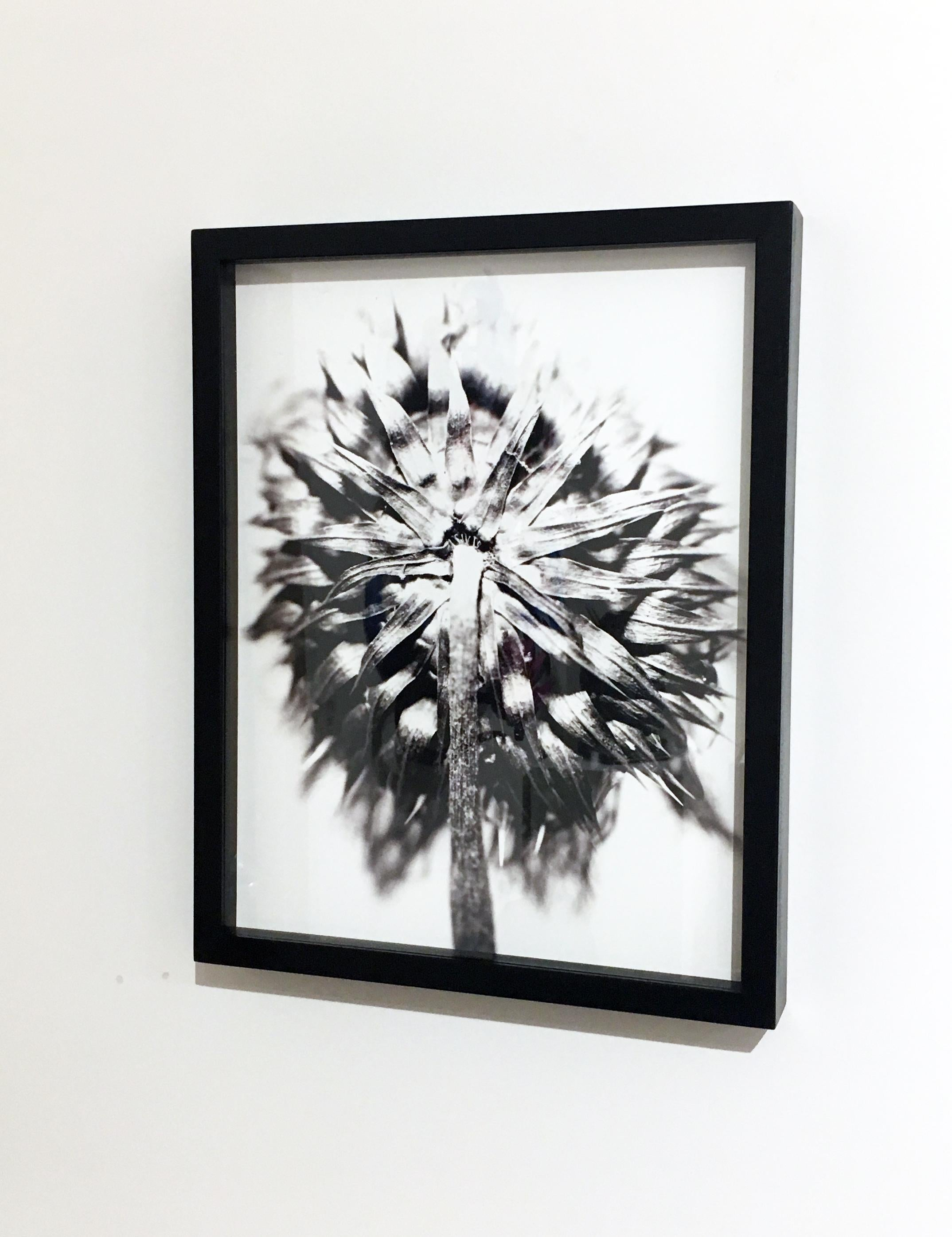 Thistle 22, Framed Black and White Digital Print Photography