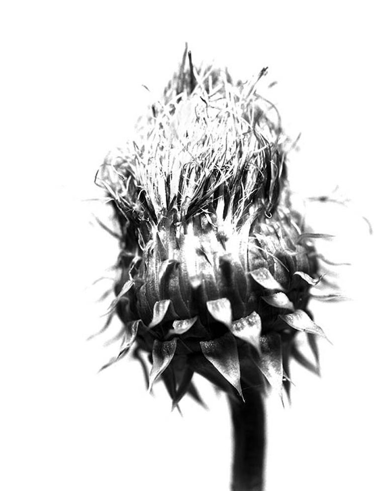Thistle 24, Digital Print Black and White Photography, Framed  - Gray Still-Life Photograph by Mark Douglas