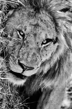 Faced with a Lion