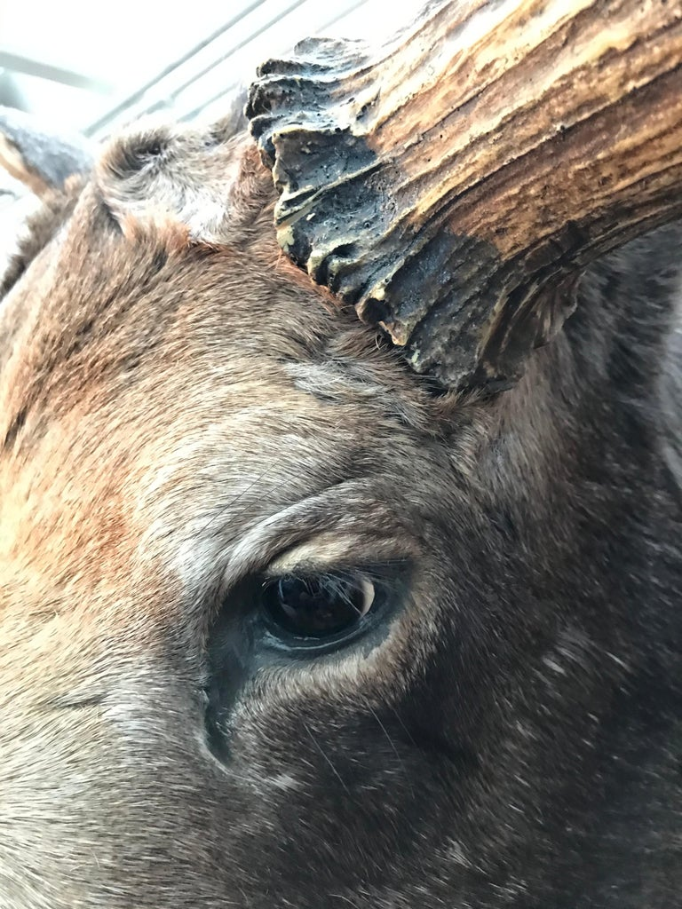 Massive and Impressive Hip Mounted Swedish Bull Elk with 30 Points For Sale 7
