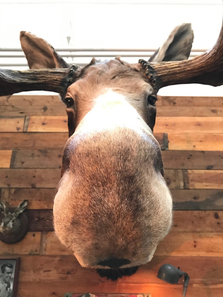 Massive and Impressive Hip Mounted Swedish Bull Elk with 30 Points For Sale 11