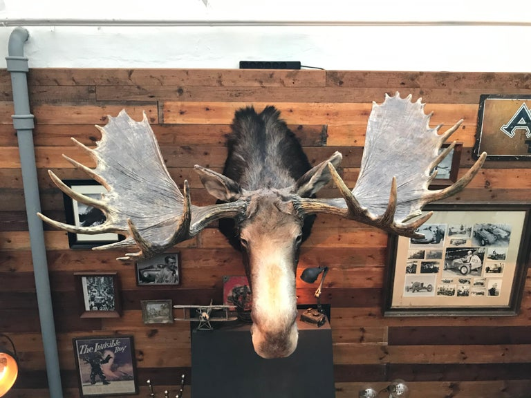 Bone Massive and Impressive Hip Mounted Swedish Bull Elk with 30 Points For Sale