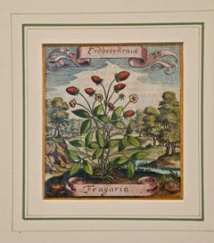 17th Century Hand-colored Botanical Engraving of a Strawberry Plant by Merian