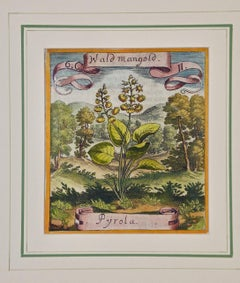 17th Century Hand-colored Botanical Engraving of a Wintergreen Plant by Merian