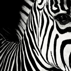 Half Angels Half Demons - Zebra, #26, 2008, Medium B&W Photograph