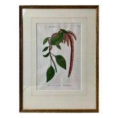 """Mezzotint of """"Amaranthus caudatus"""" Johann W. Weinmann, 1737-1745"""