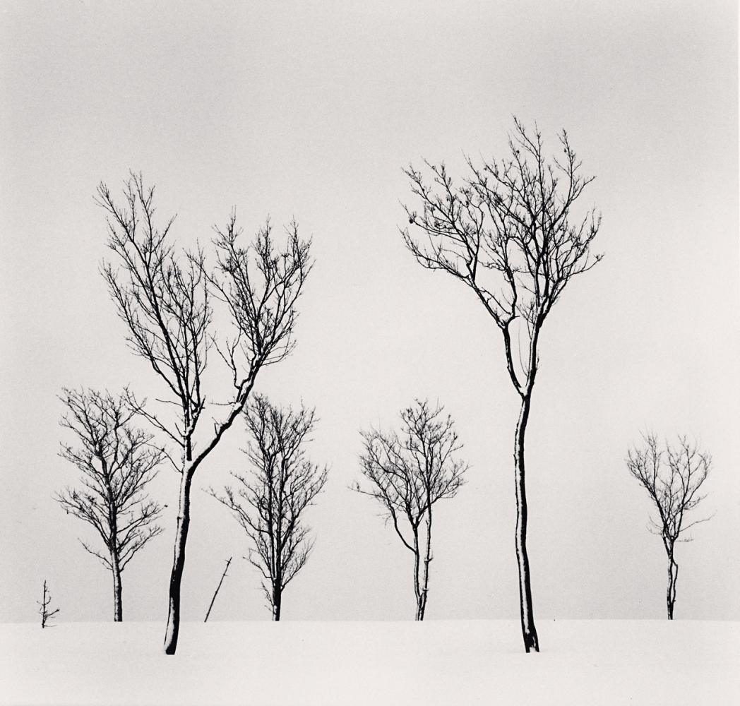 Birch Hill Trees, Hokkaido, Japan