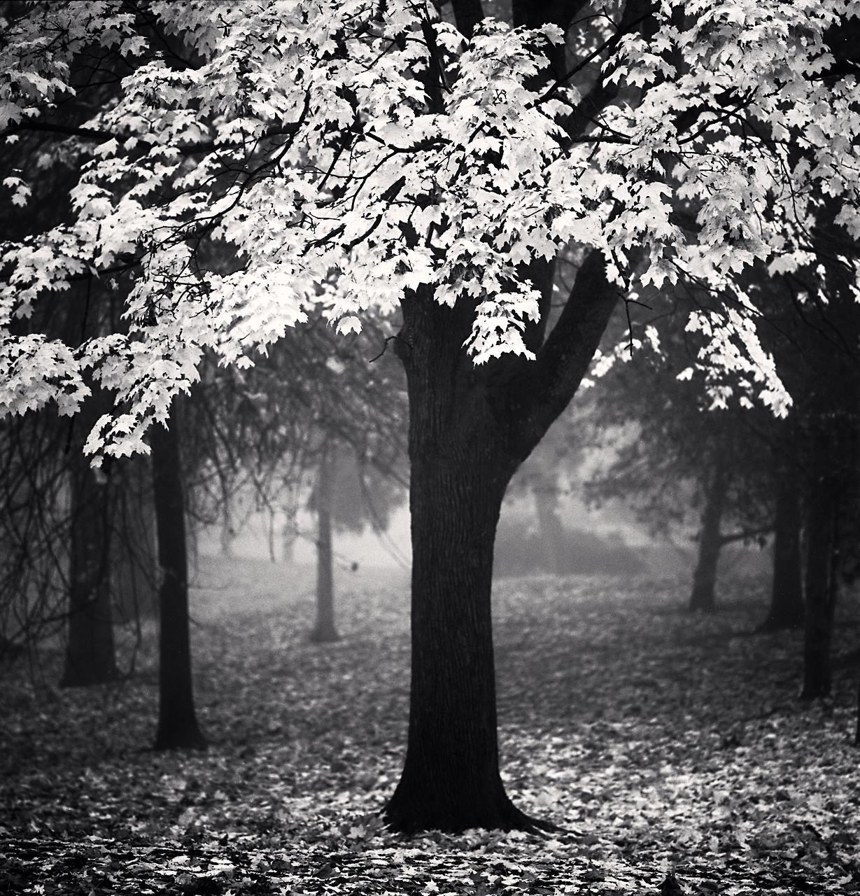 Irving Park Tree, Study 2, Portland, Oregon, USA