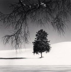 Norway Spruce Tree, Hokkaido, Japan