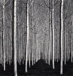 Spring Poplar Trees, Pavia, Italy