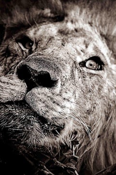 Awaken - Michel Ghatan, lion, wildlife, black and white, photo, kenya, 36x24 in.