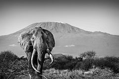 Elephant and Kilimanjaro - Michel Ghatan, black and white, landscape, 24x36 in