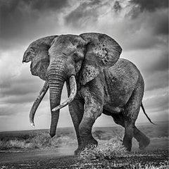 Elephant on the Run - Michel Ghatan, black and white photo, wildlife, 30x30 in