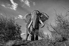 Elephant Top Down - Michel Ghatan, black and white, photo, elephant, 24x36 in
