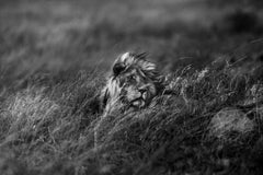 Lion in the Wind - Michel Ghatan, black and white, animal, wildlife, 24x36 in
