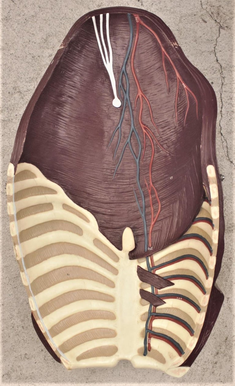 Midcentury Anatomical