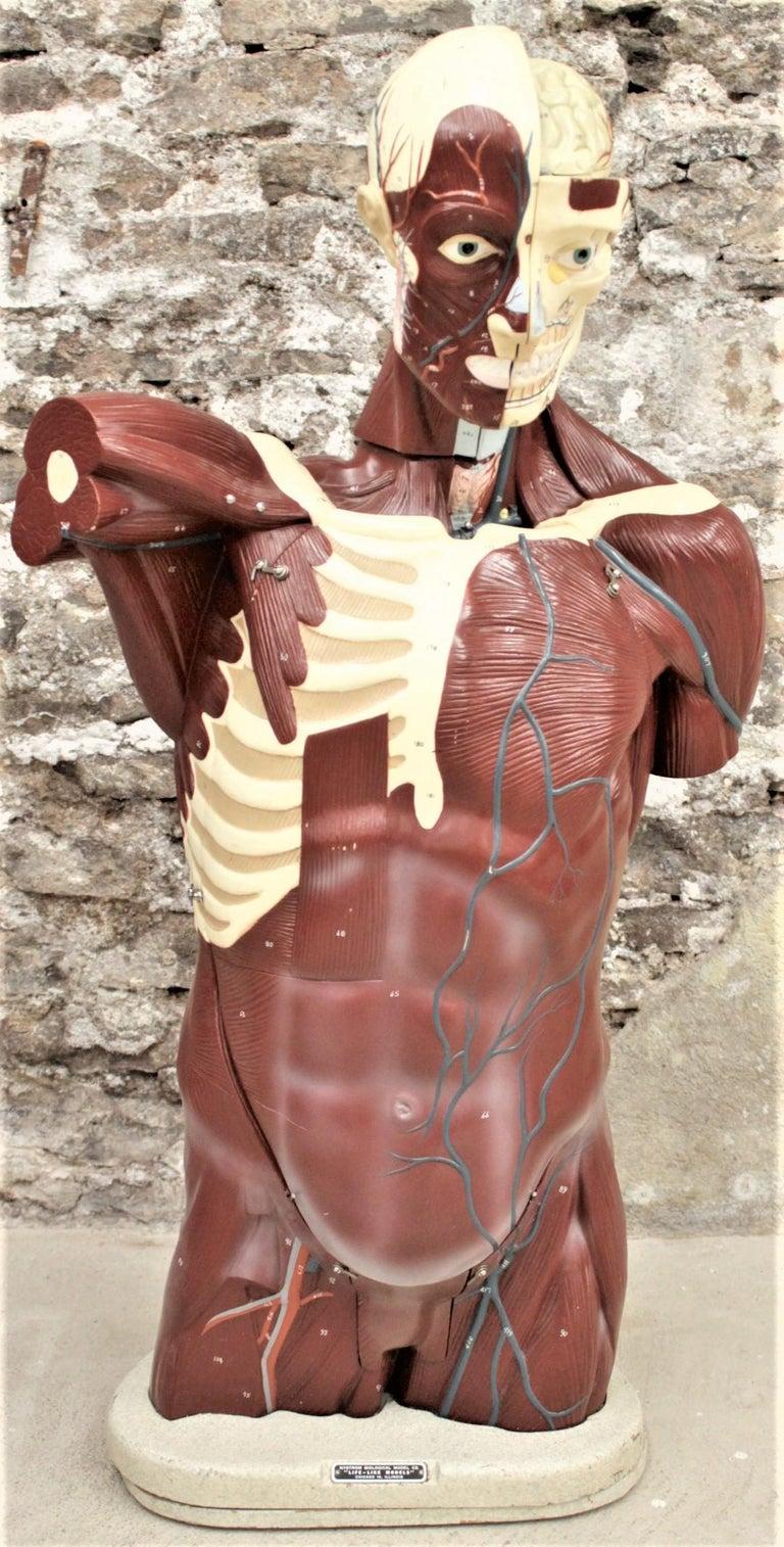 Molded Midcentury Anatomical
