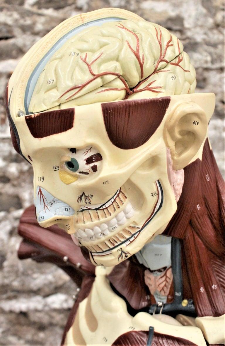 20th Century Midcentury Anatomical