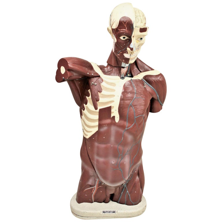 """Midcentury Anatomical """"Life Like"""" Medical Model of the Male Torso by Nystrom For Sale"""