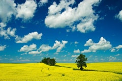 'Canola, shelterbelt and clouds'  Mike Grandmaison, Photograph, Archival Ink