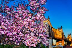 Cherry Blossoms and Queens Boroughs  Bridge