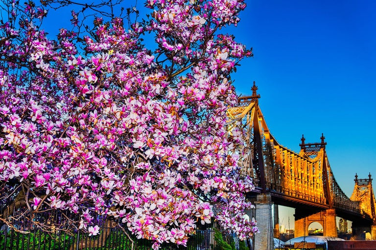 Mitchell Funk Color Photograph - Cherry Blossoms and Queens Boroughs  Bridge