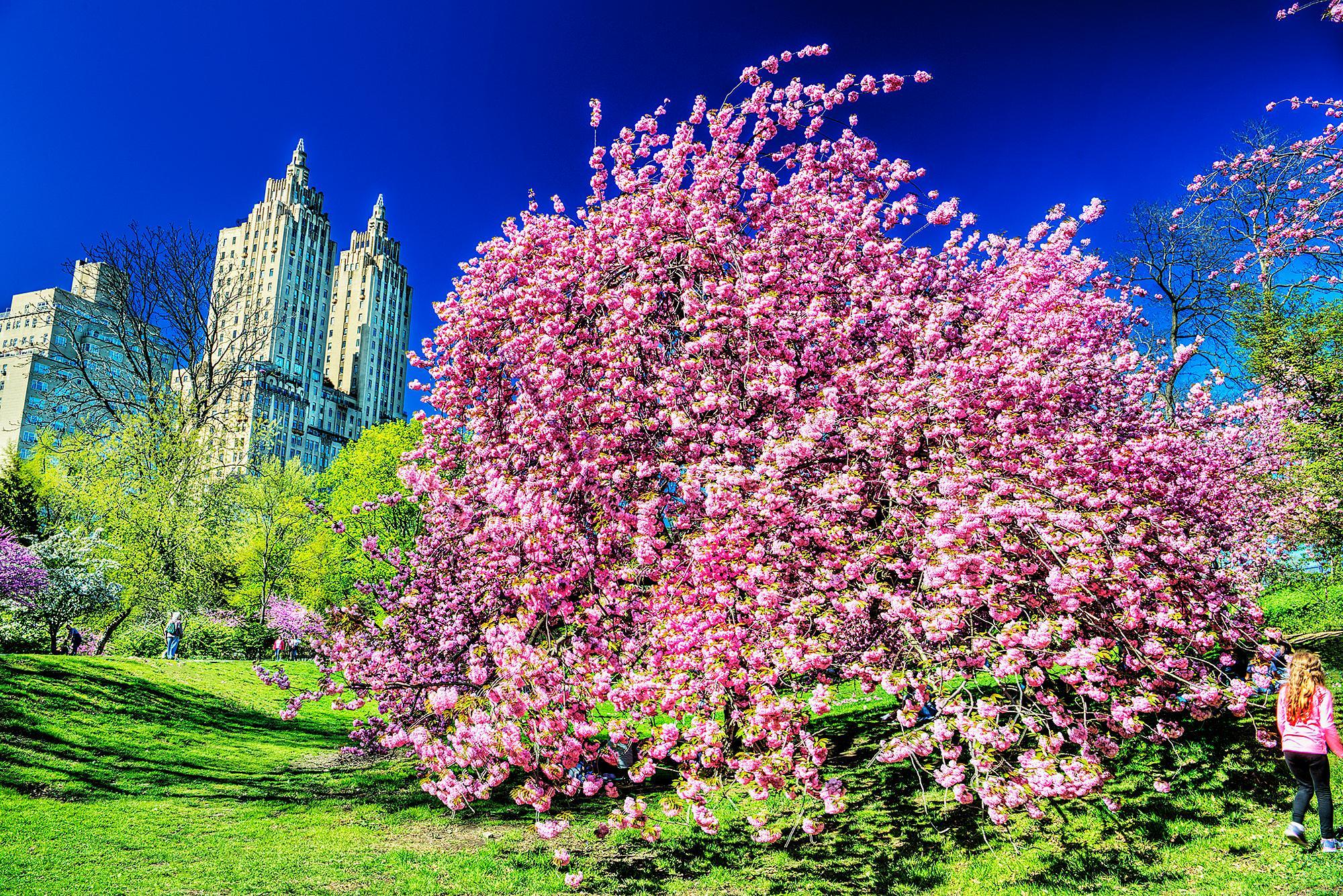 Cherry Blossoms  Central Park Manhattan