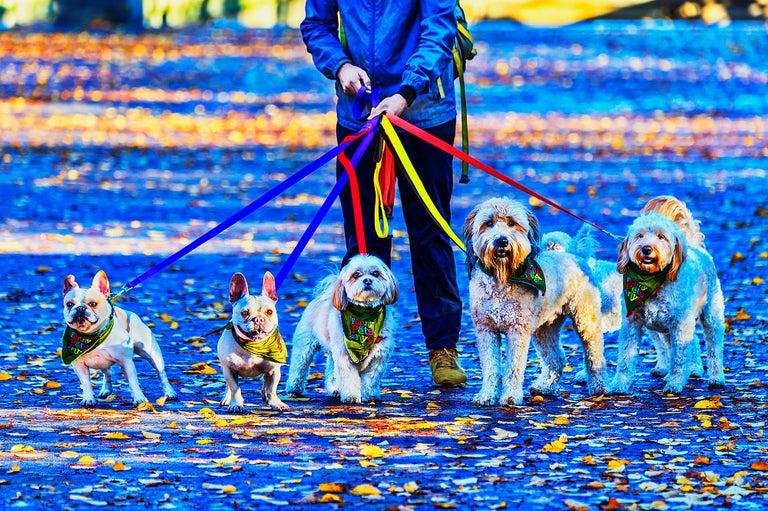 Mitchell Funk Color Photograph - Dog Walker. Bulldog, Yorkshire Terrier, Labrador
