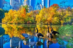 Ducks In Central Park Pond In Autumn