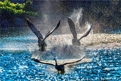 Ducks in Flight with Blue water Droplets