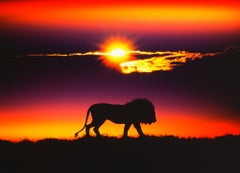 Noble Lion at Sunset